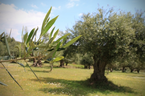 AEON_DROPS_EPITALIO_OLIVE_TREE